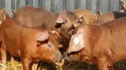 Duroc Schweine (1)