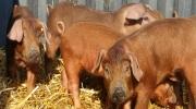 Duroc Schweine (2)