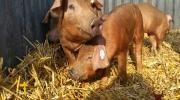 Duroc Schweine (3)