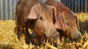Duroc Schweine (4)