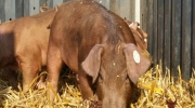 Duroc Schweine (5)